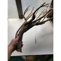 Racine talawa 50-70cm