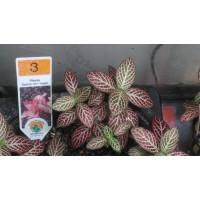 Fittonia argyroneura ou argyronanta