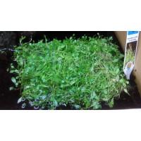 Glossostigma elastinoides tapis 10 par 11