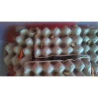 Grillon domestique - Acheta domestiqua