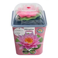Nymphaea attraction natura rose