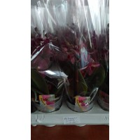 Phalaenopsis miniflora