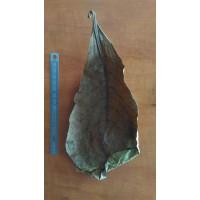 Feuille de Terminalis catappa 15-20cm